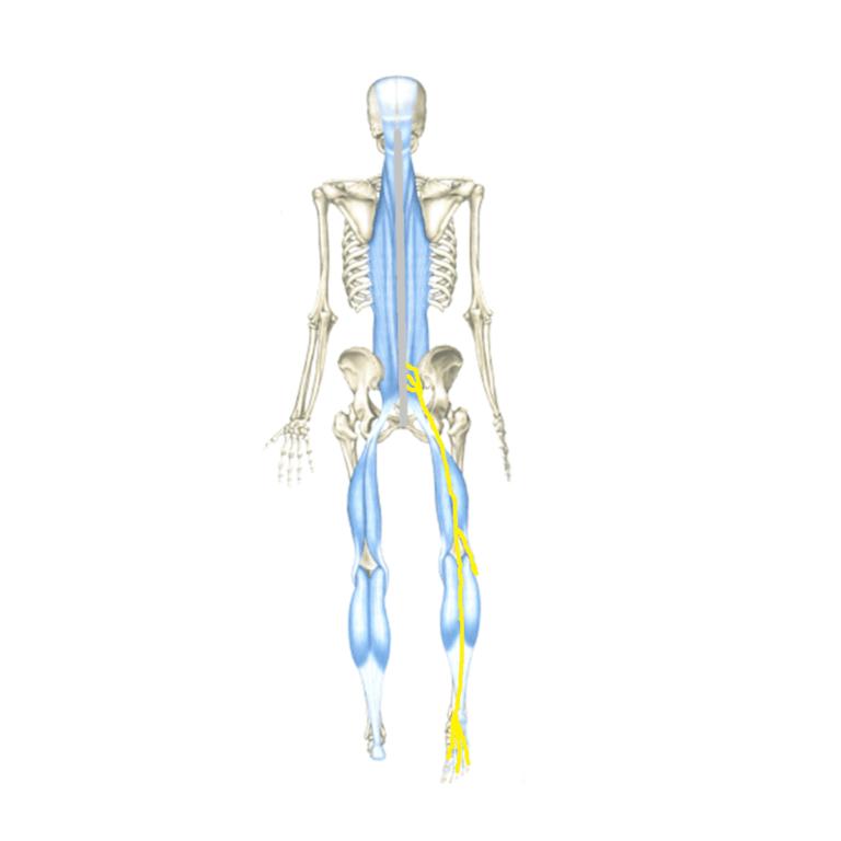 nervio-ciatico--2-fisiodocent
